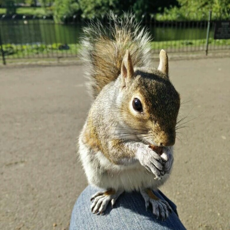 A grey squirrel on my knee in St James Park,  London
